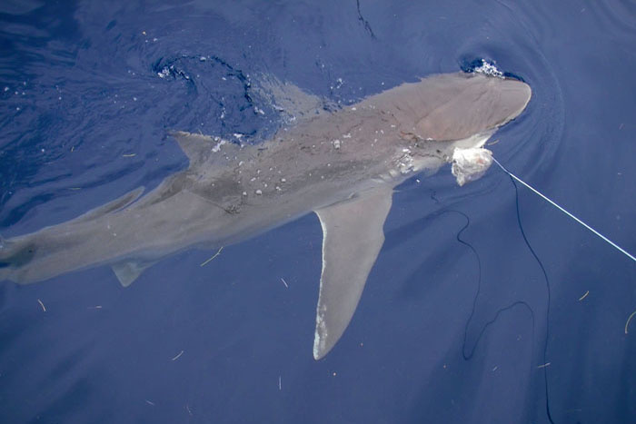 A dusky shark captured in the Florida Keys during the study comparing circle hooks and J hooks. Credit: NOAA Fisheries.