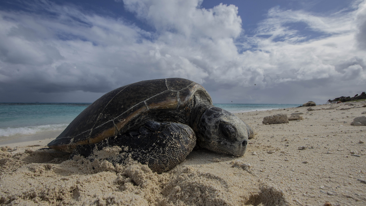 A female green sea turtle, basking on Tern Island, Hawaii. She came back up later that night to lay her first nest of the 2018 season.Photos taken under NOAA and USFWS permits.