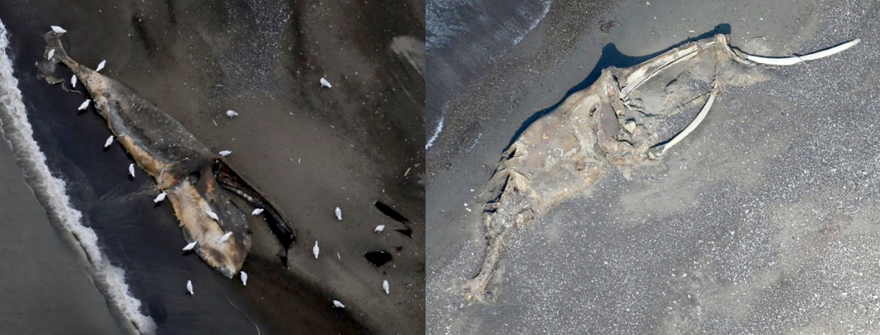 This bowhead whale carcass was initially sighted by ASAMM in 2016 (left) and resighted in 2017 (right).