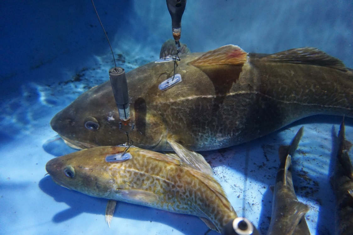 Tagged cod in a holding tank, waiting for release. Tagged cod ranged in size from 65 cm to 104 cm.