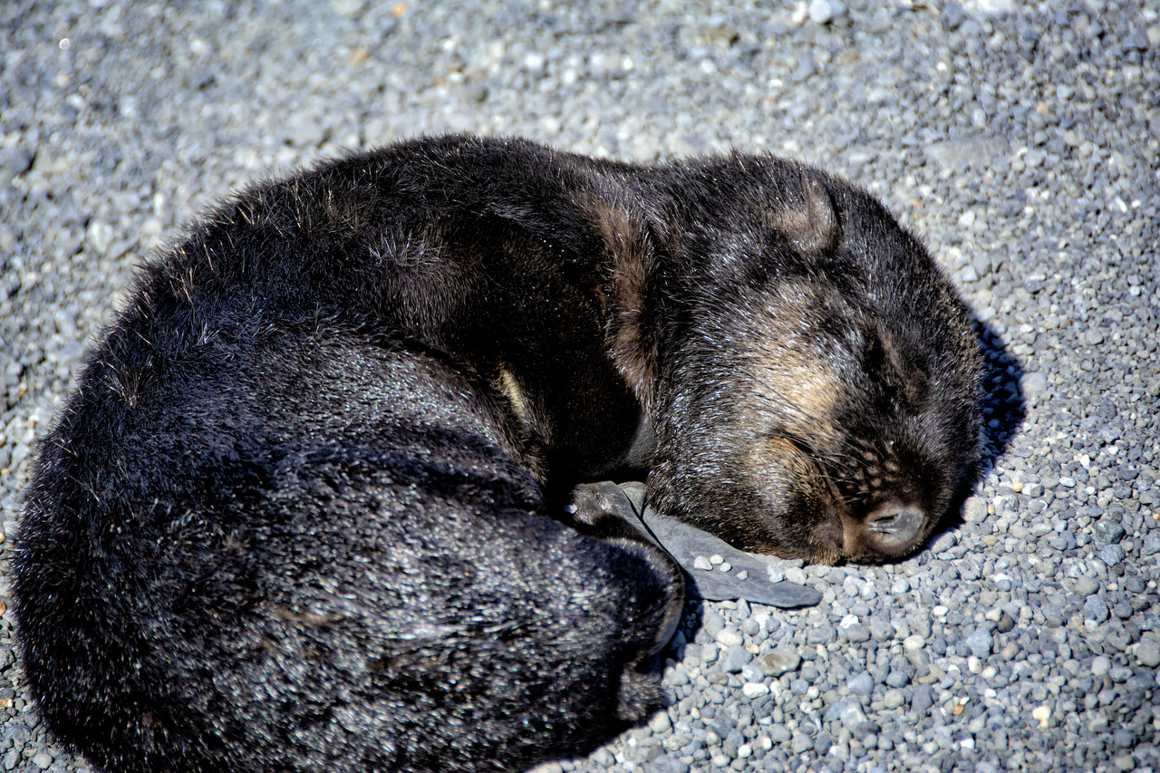 A fur seal pup sleeps on Bogoslof Island.