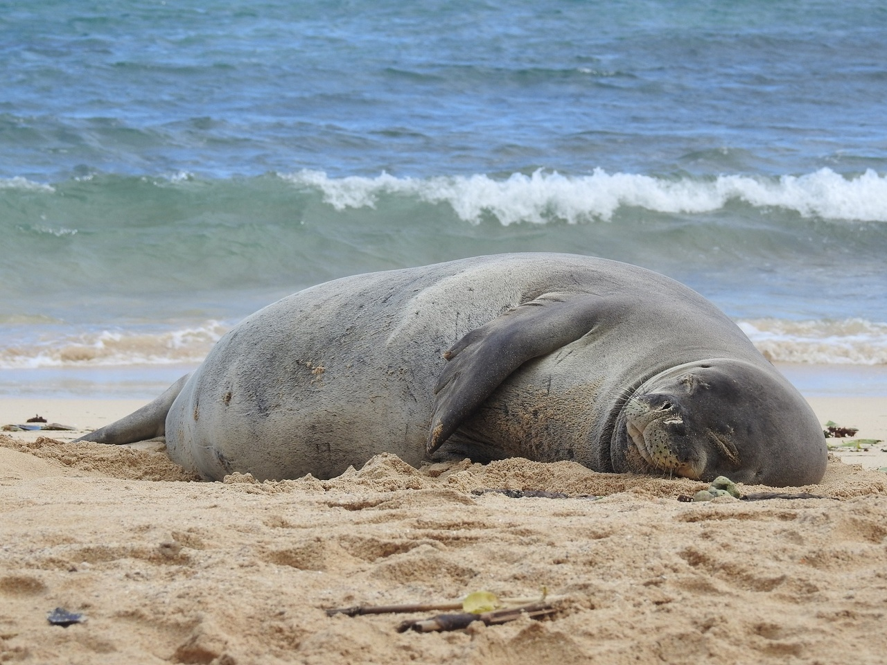 Monk seal lying on beach with ocean behind.