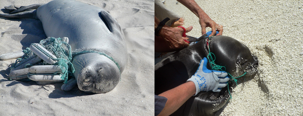 Monk seal entangled in fishing line and buoys on left and staff carefully cuts a fishing line to free a seal on right