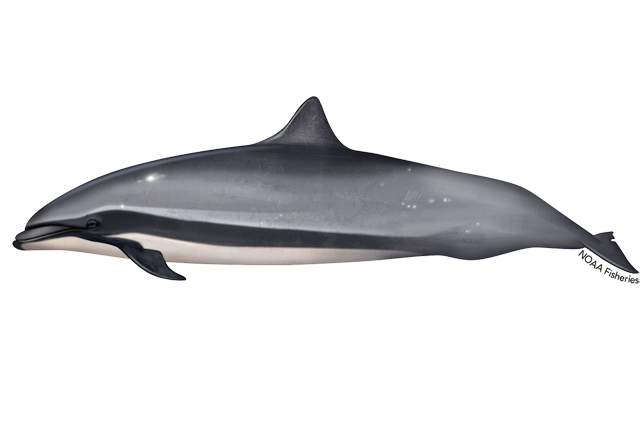 Frasers dolphin illustration
