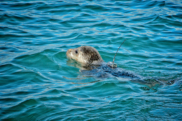 Aleutian Harbor Seal Telemetry Study Image
