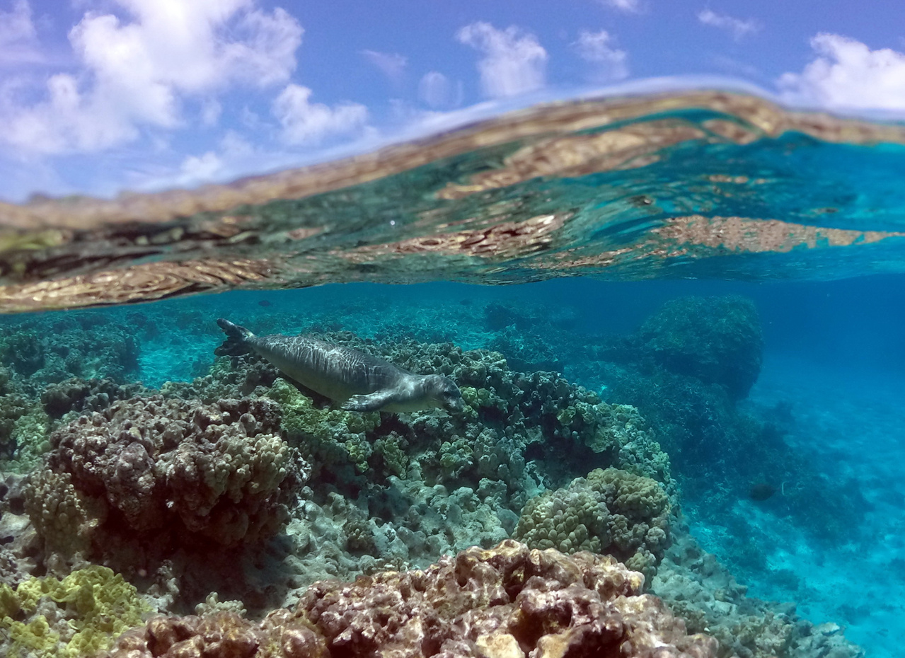 Hawaiian monk seal swims underwater by coral reefs