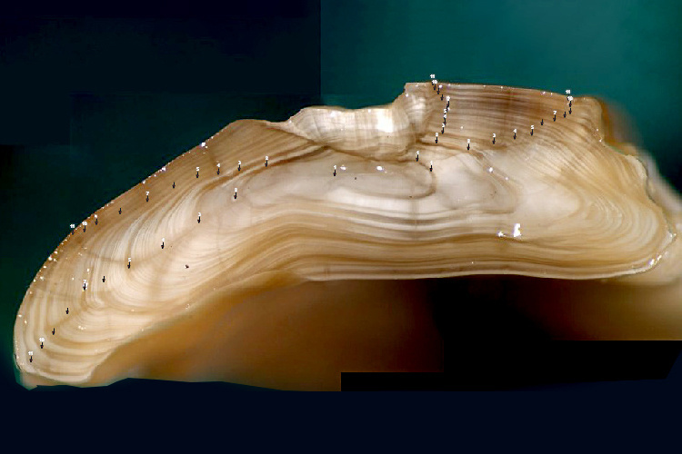 This digitally enhanced Otolith is one of the ways technology is helping scientists more accurately determine the age of fish.