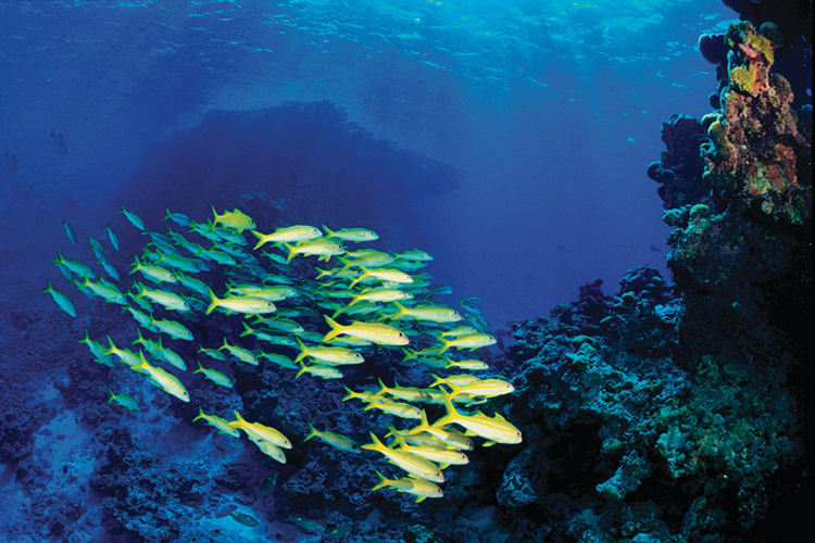 A school of bright yellow fish swims underwater near a wall of coral