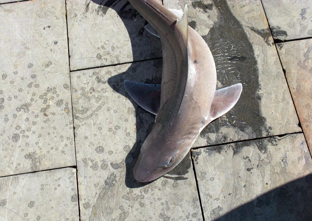 smooth-dogfish1-fullsize.jpg