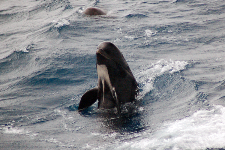 Picture of a long-finned pilot whale