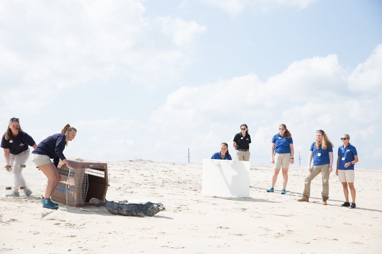 Harbor seal is released onto beach