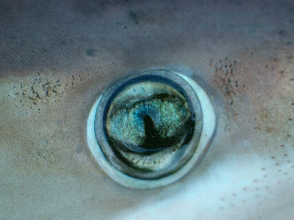 Closeup photo of a night shark's green eye.