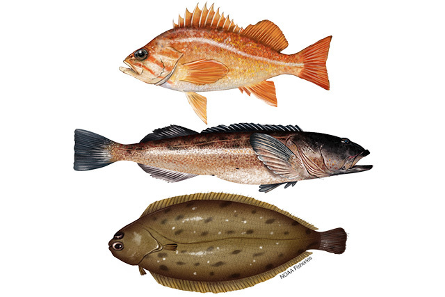 Illustrations of canary rockfish, lingcod, and Dover sole.