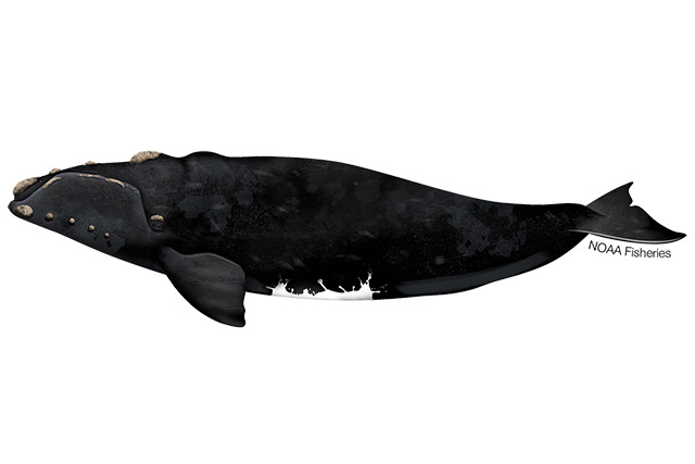 Illustration of Southern right whale