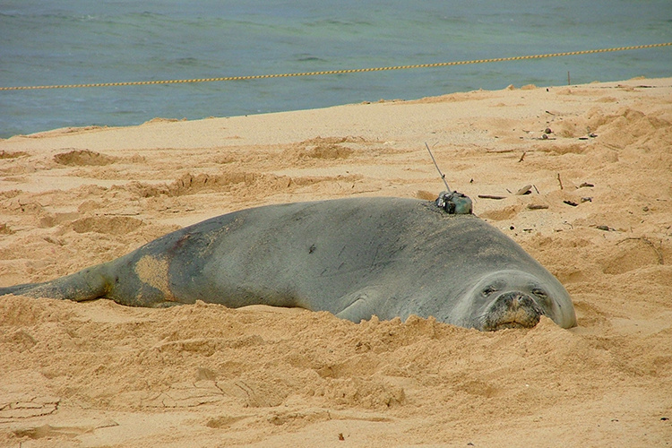Hawaiian monk seal with a satellite tag on its back.
