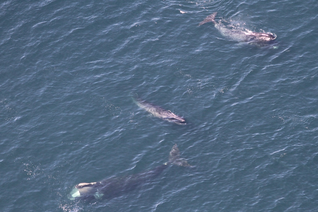 Aerial view of whales feeding