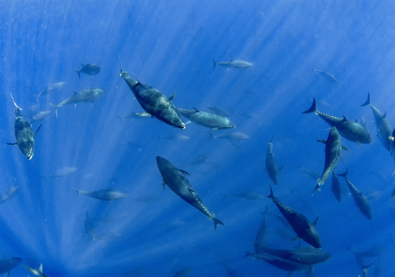 Bluefin tuna swimming together