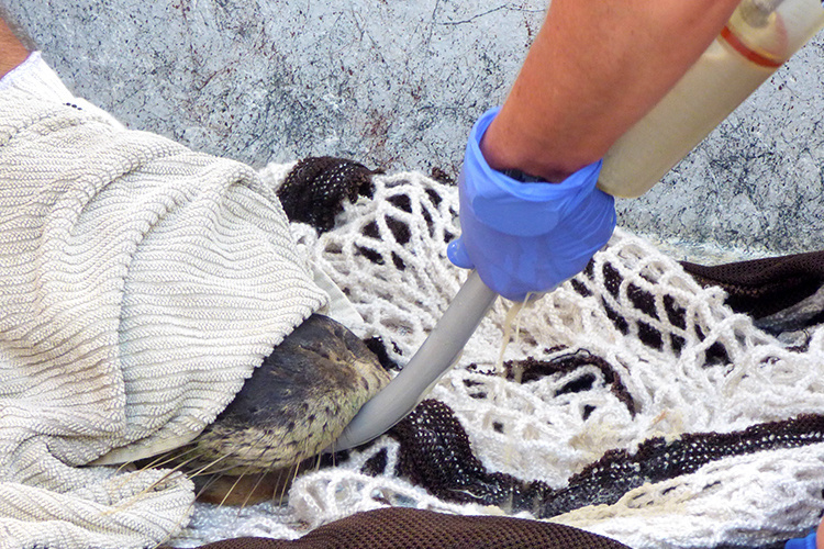 Monk seal tube feeding.