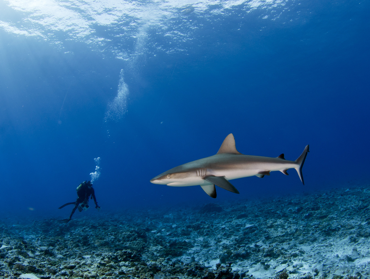 Chief Scientist, Kaylyn McCoy, counts fishes large and small during her census of fish biomass and biodiversity. This curious gray reef shark, <i>Carcharhinus amblrhynchos</i>, comes in for a closer inspection of this newcomer to his waters. (Photo: NOAA Fisheries/Jeff Milisen)