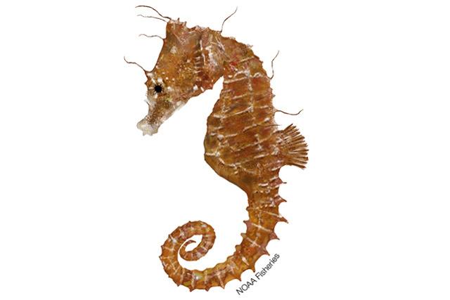 Dwarf seahorse illustration