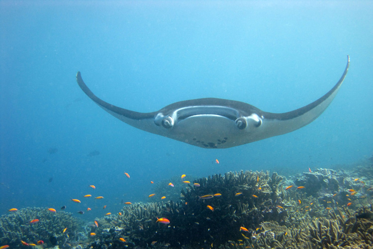 Giant manta ray swimming above a reef.