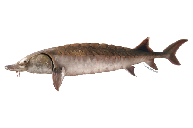 Gulf sturgeon illustration