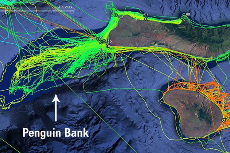 A map of a Hawaiian monk seal foraging tracks in Penguin Bank, Molokai
