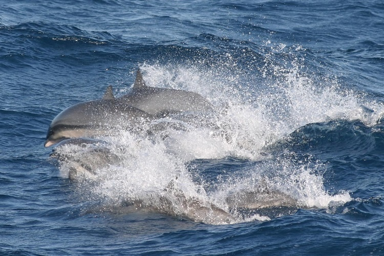 Several dolphins swimming.