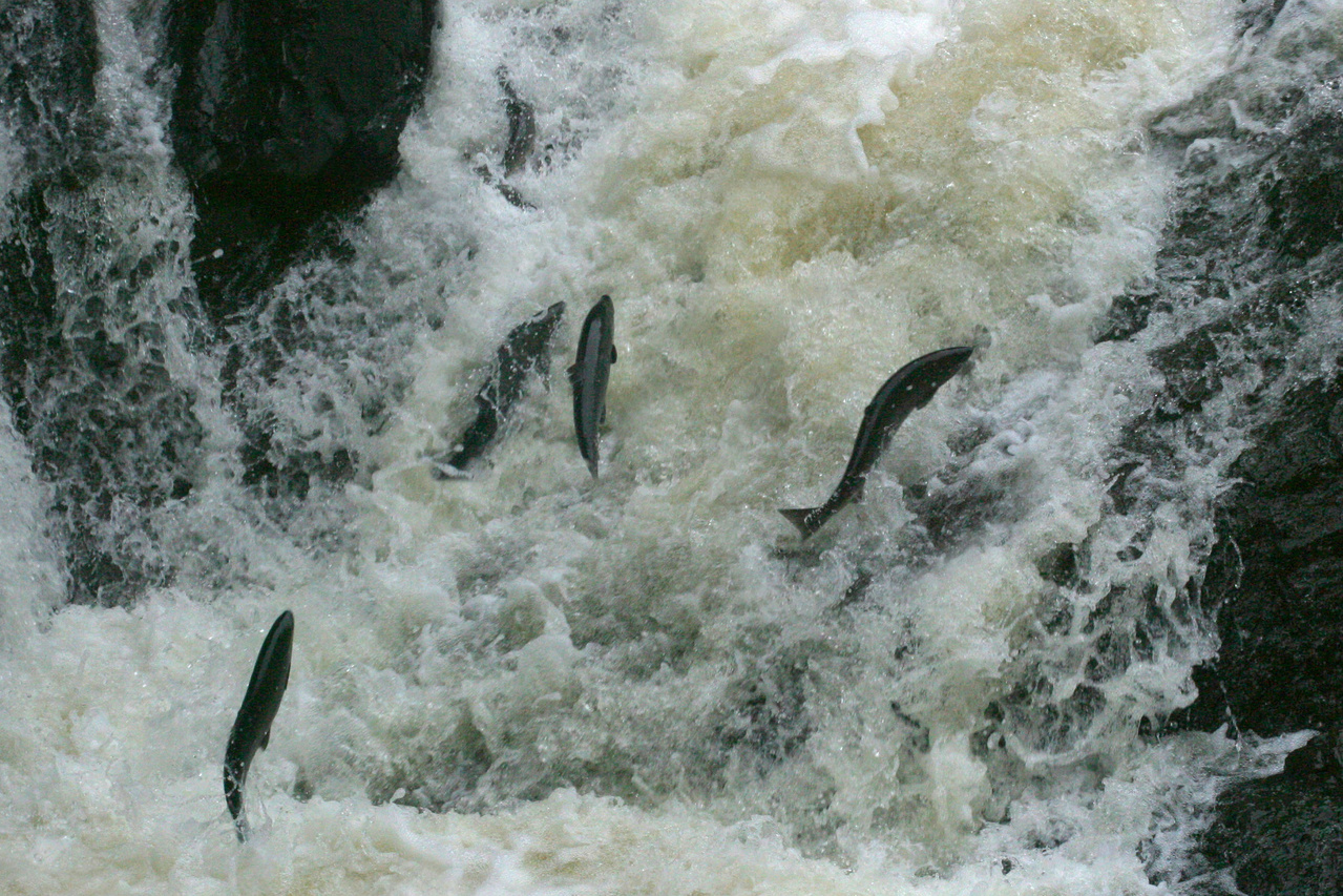 Fish leap up stream