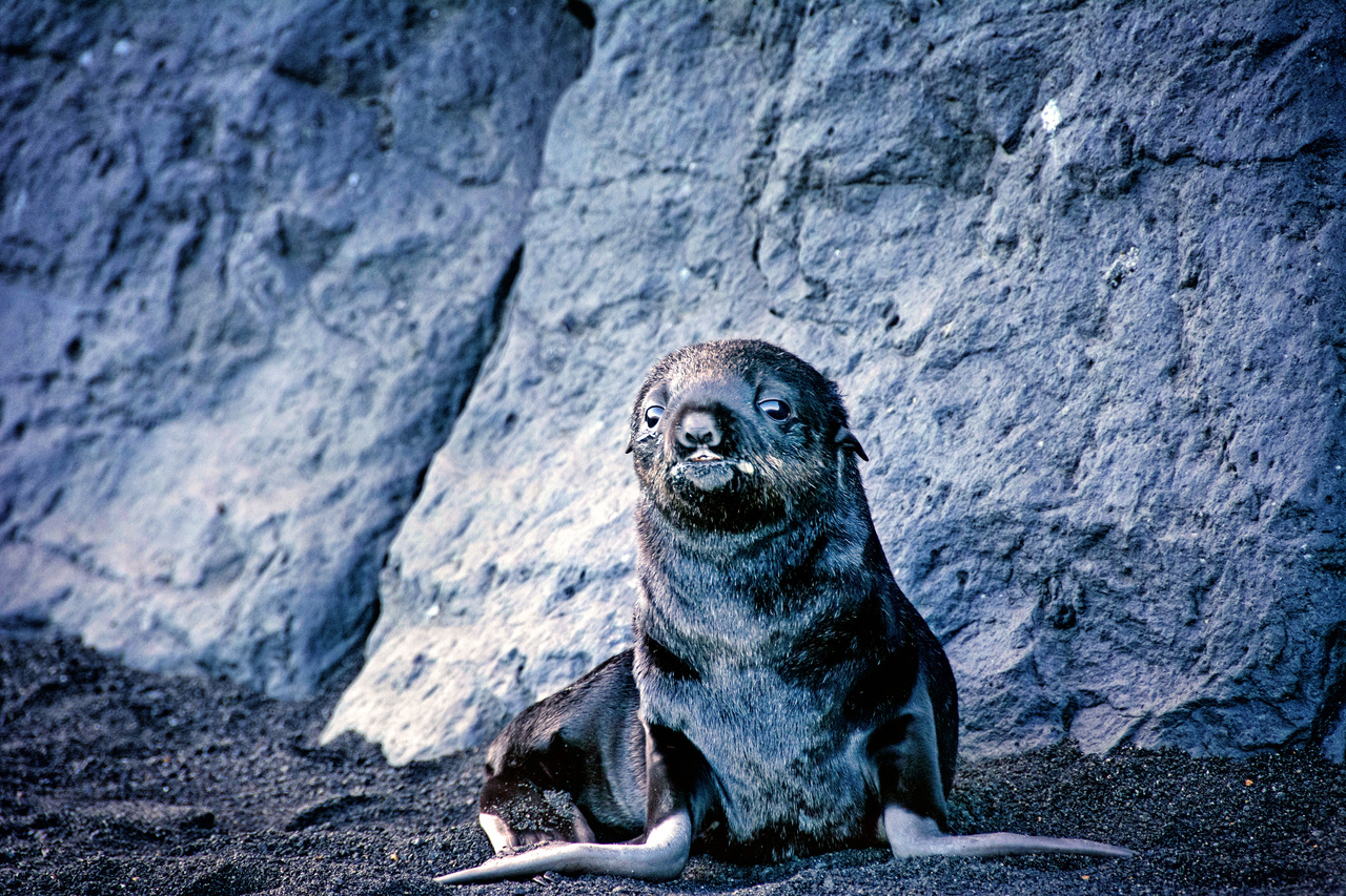 Fur Seal pup on Bogoslof Island.