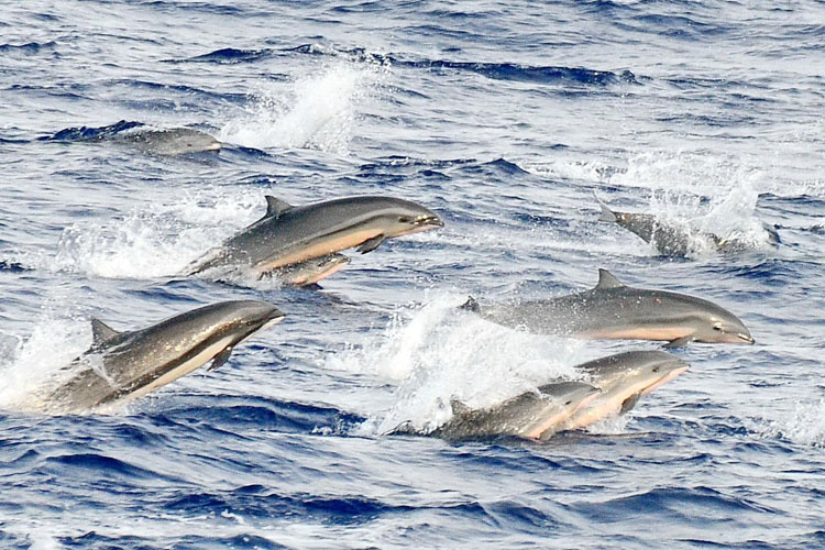 A group of Fraser's dolphins jumping out of the water.