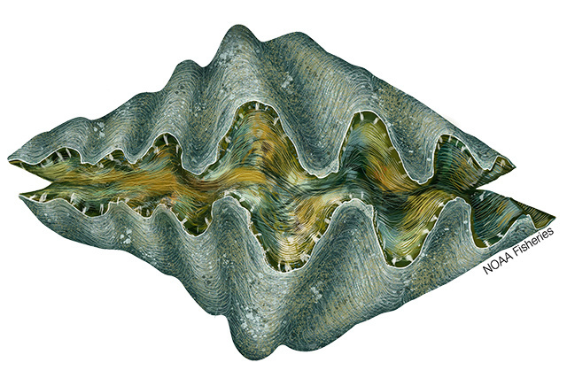 Giant clam (Hippopus spp.) illustration