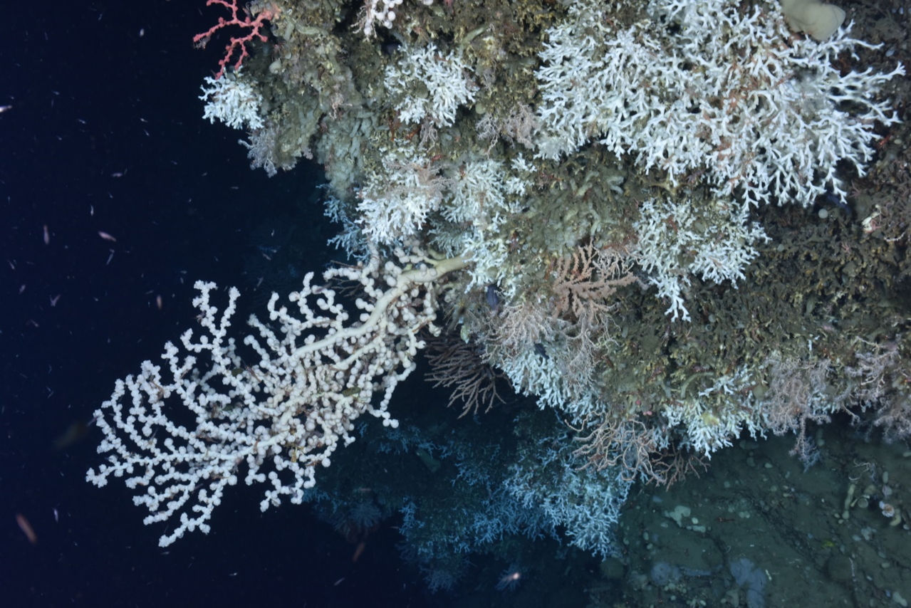 bubblegum, colonial white stony, and paragorgia deep-sea corals on ocean bottom.