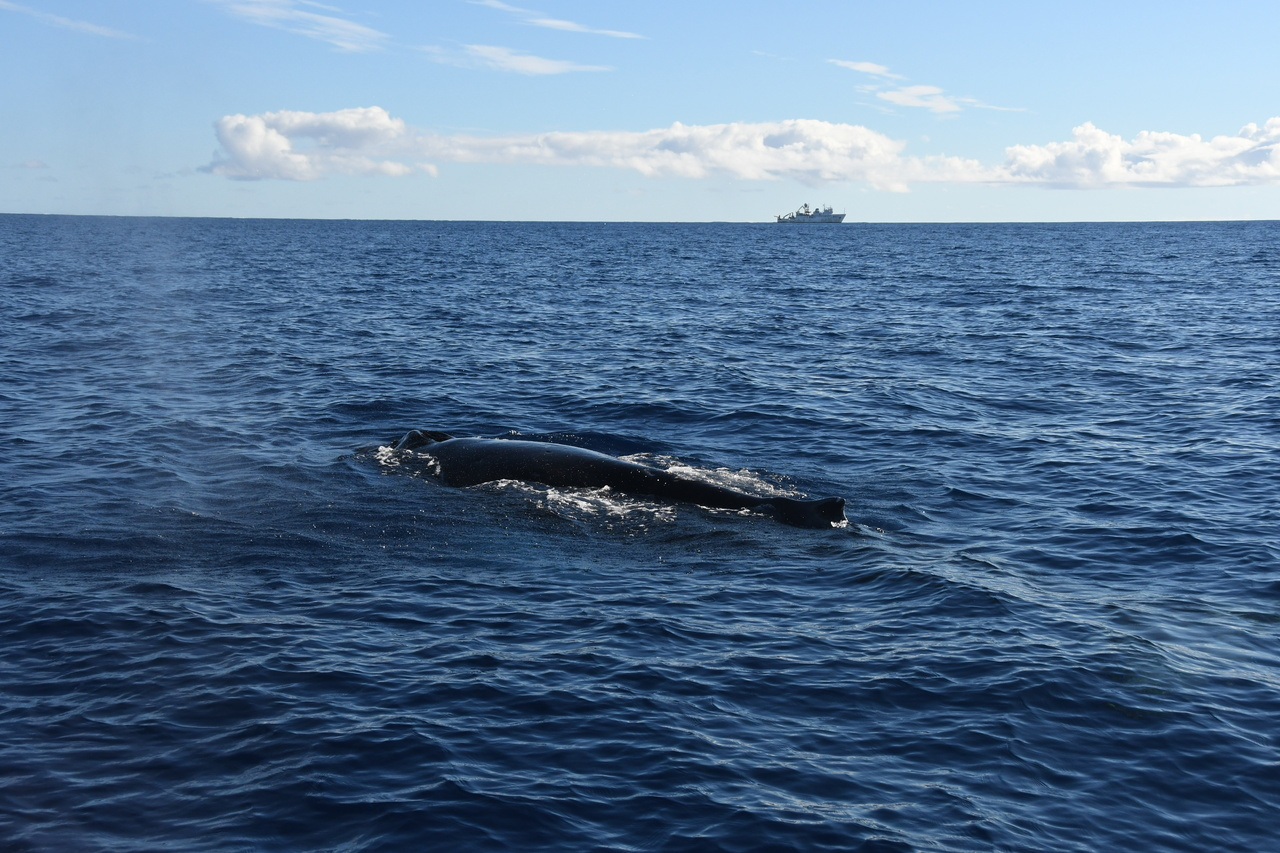 A humpback whale and the Oscar Elton Sette in Hawaiian waters. Photo: NOAA Fisheries/Adam Ü.