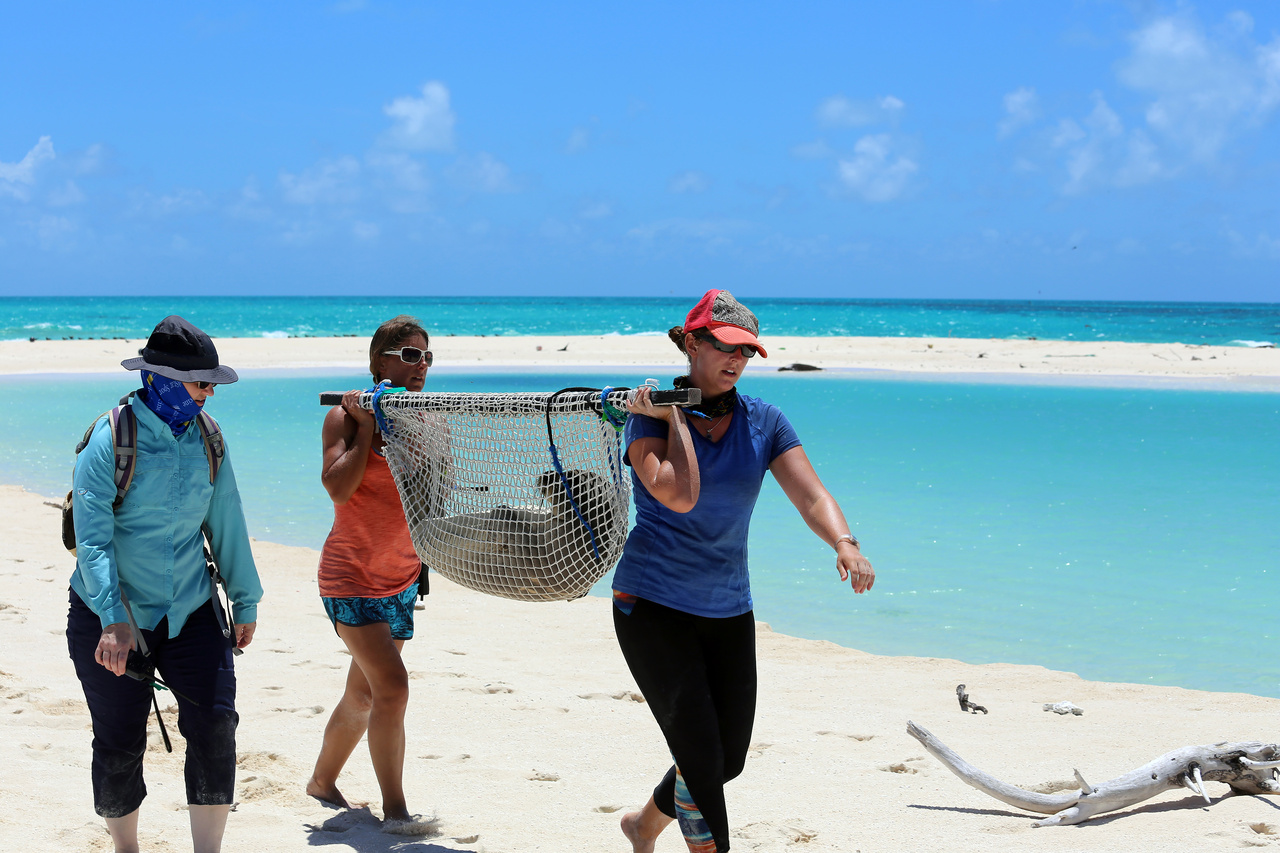 NOAA scientists transport a juvenile monk seal for potential rehabilitation.