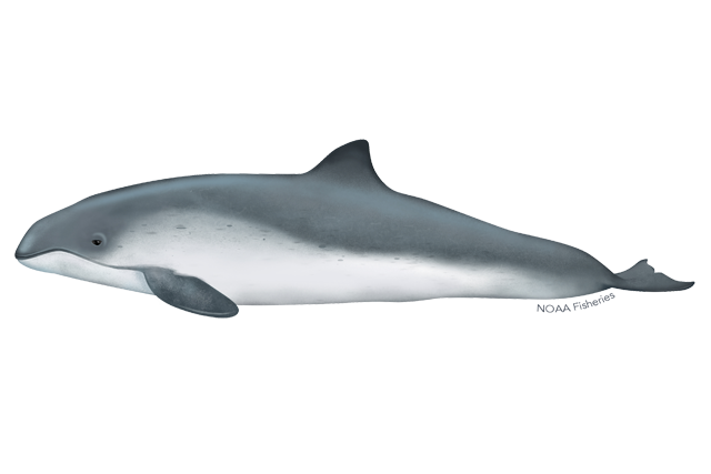 Harbor porpoise illustration.