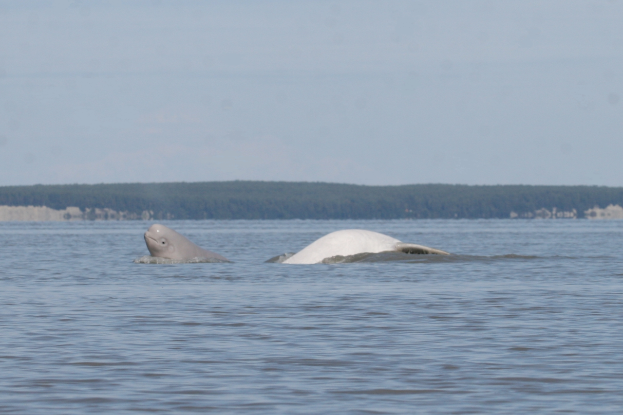 Cook Inlet beluga calf and mother. Photo credit: Christopher Garner, U.S. Air Force Conservation Department.