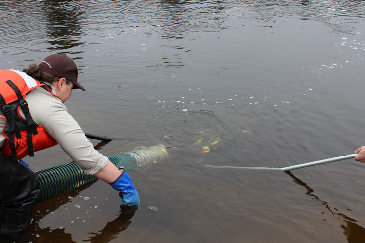 worker from a hatchery stocks salmon smolt in a river