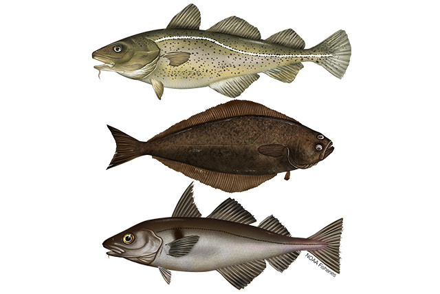 Northeast Groundfish group illustration