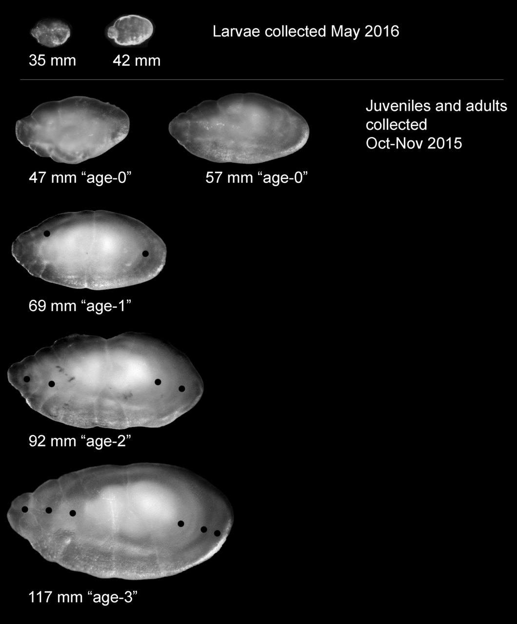 Pacific sand lance otoliths of various age classes with length and estimated age. Black dots mark presumed annuli.