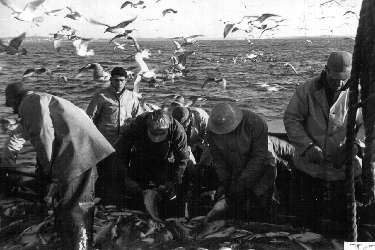 Men sorting fish on boat with gulls flying around them