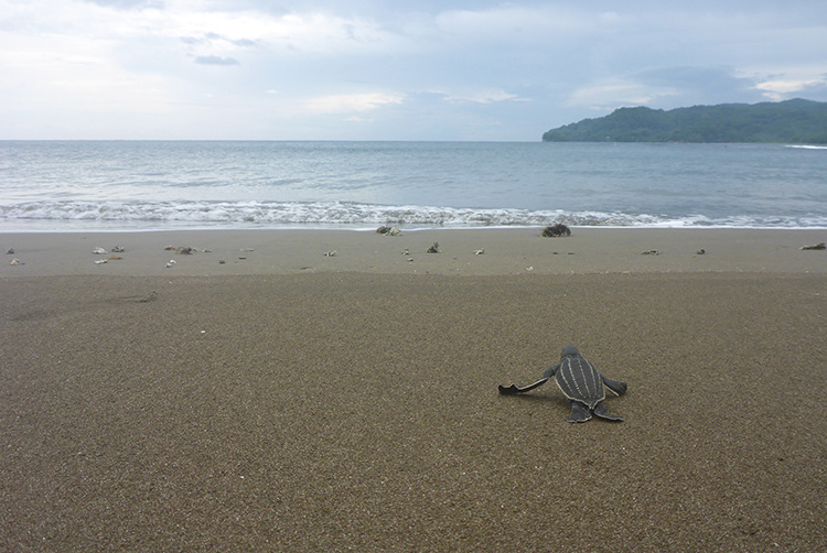 Small leatherback hatchling heading towards the ocean.