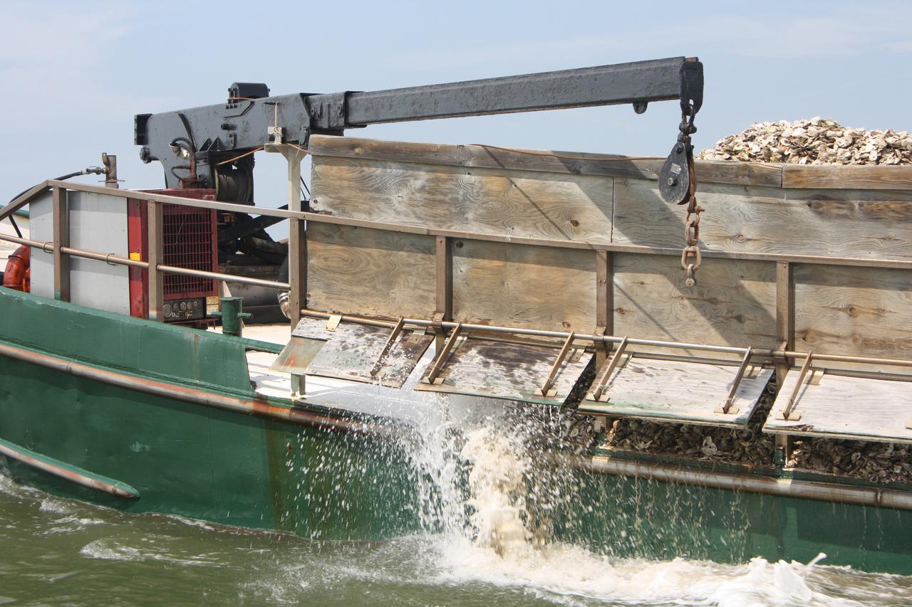 Chesapeake-Bay-oyster-restoration.jpg