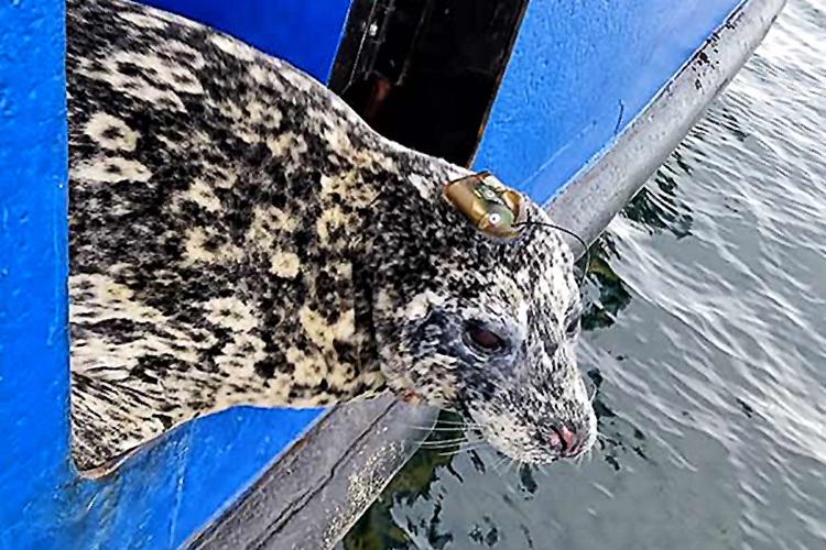 Aleutian harbor seal telemetry study image, harbor seal