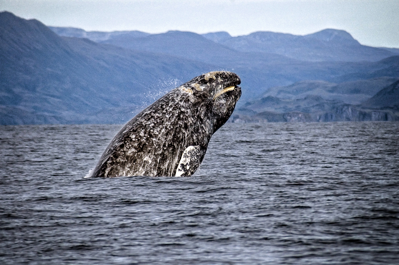 A Gray whale breaching the water.