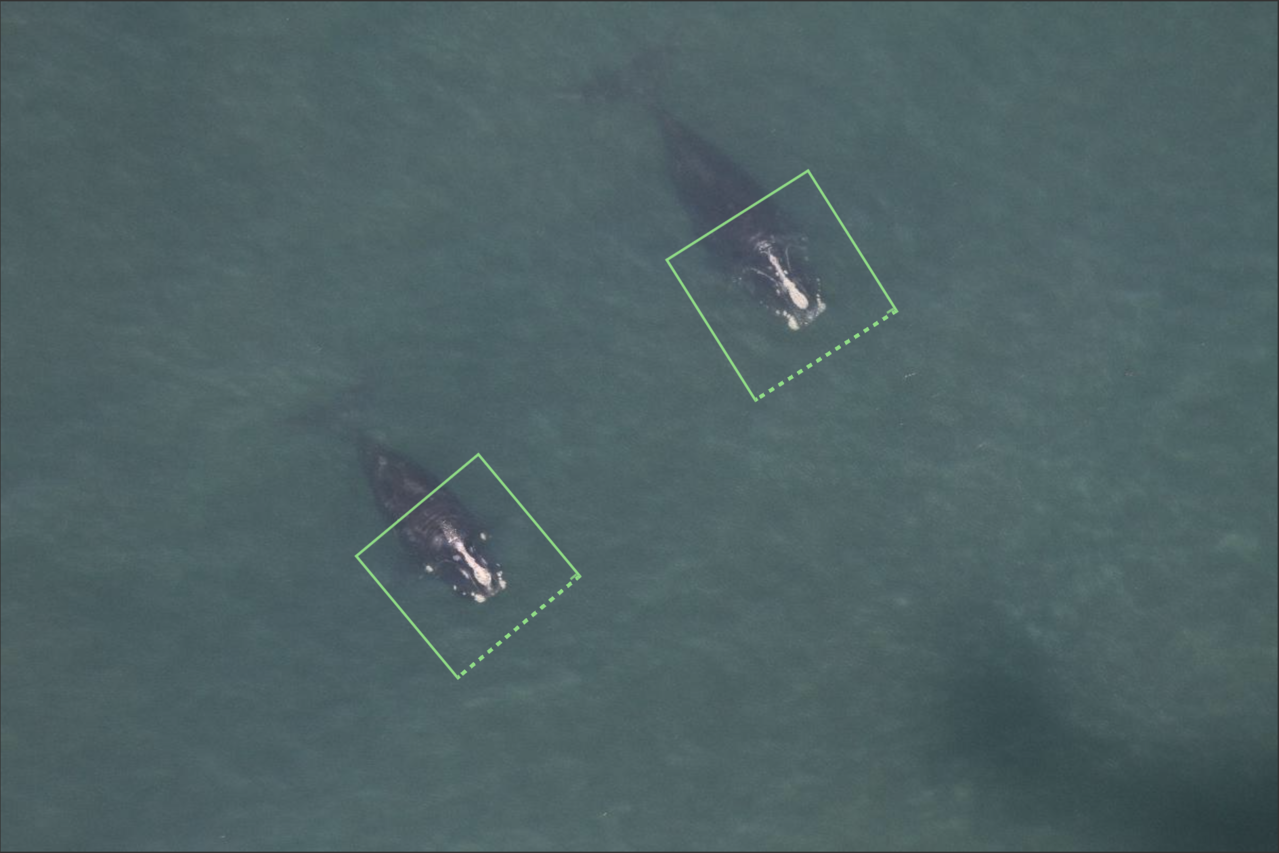 image detection software identifies the head portion of right whales as first step toward automated recognition