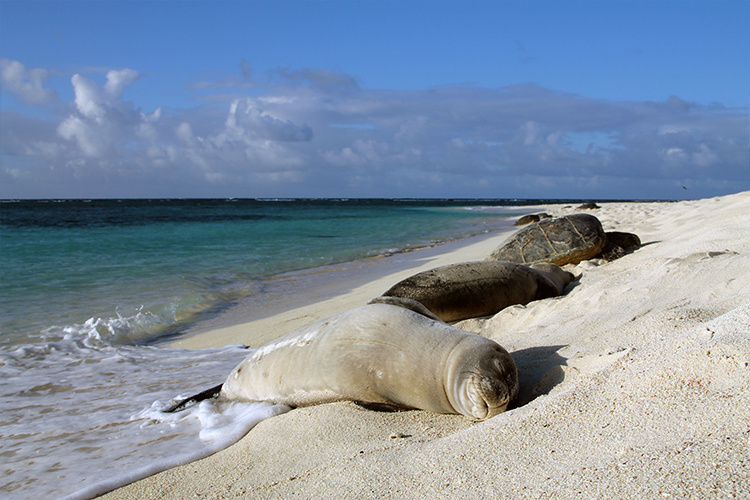 Monk seal and turtles sleeping on the beach.