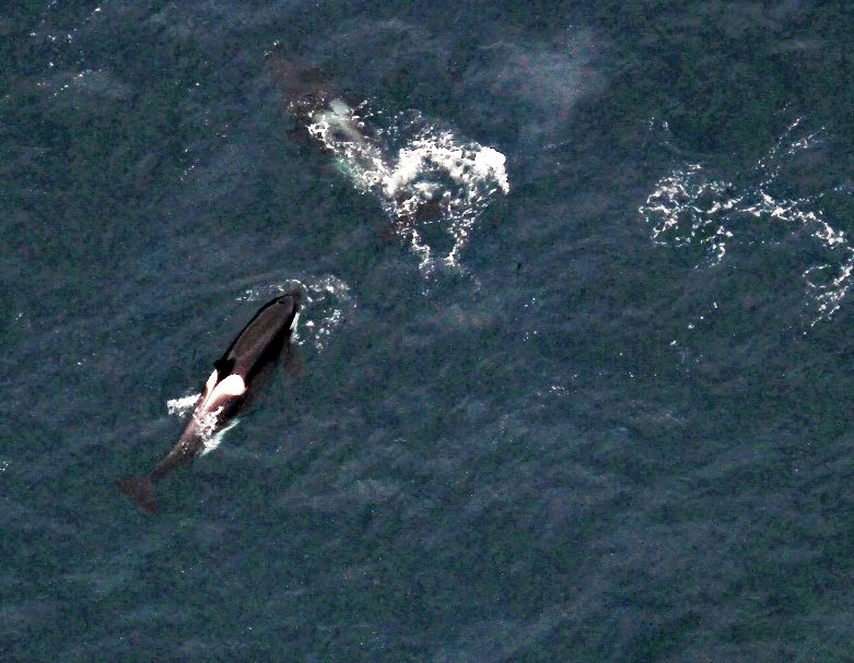 Four killer whales, or orcas. Photo taken by: Suzie Hanlan, NOAA/NMFS/AFSC/MML