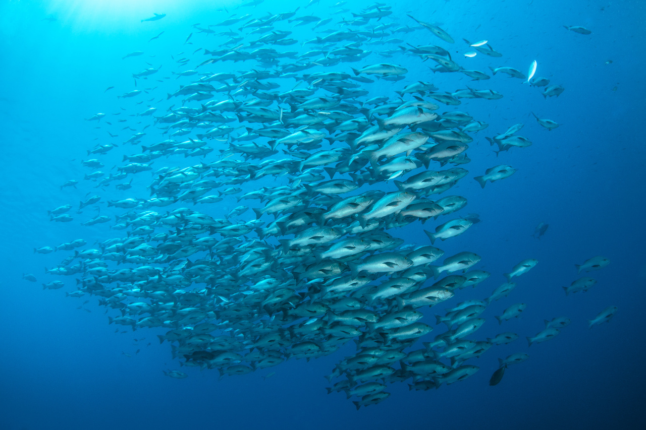 Stock photo of a school of fish.