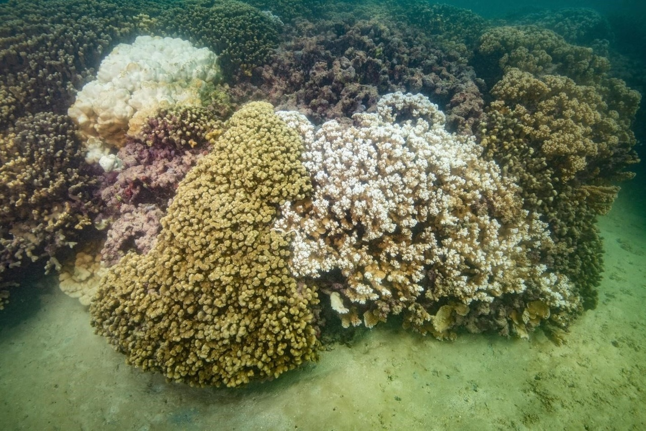 Coral reef in Kāneʻohe Bay, Oʻahu with a partially bleached colony of Montipora capitata (front right) and a fully bleached colony of Porites lutea (back left) on September 27, 2019. Photo © Chuck Babbit Photography.